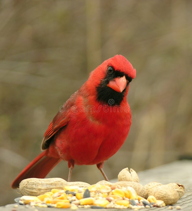 1 cardinal стоковое фото rf