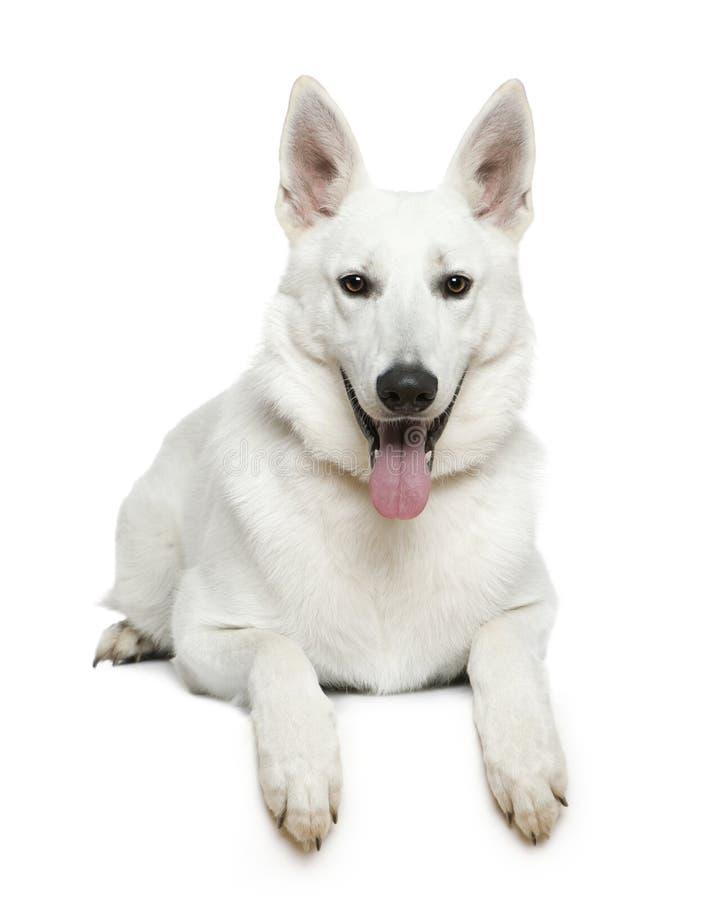 1 för herdeschweizare för hund liggande gammala år royaltyfria foton