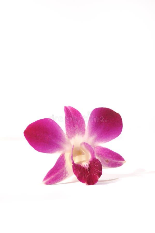 1 fioletowa storczykowa serii zdjęcie stock