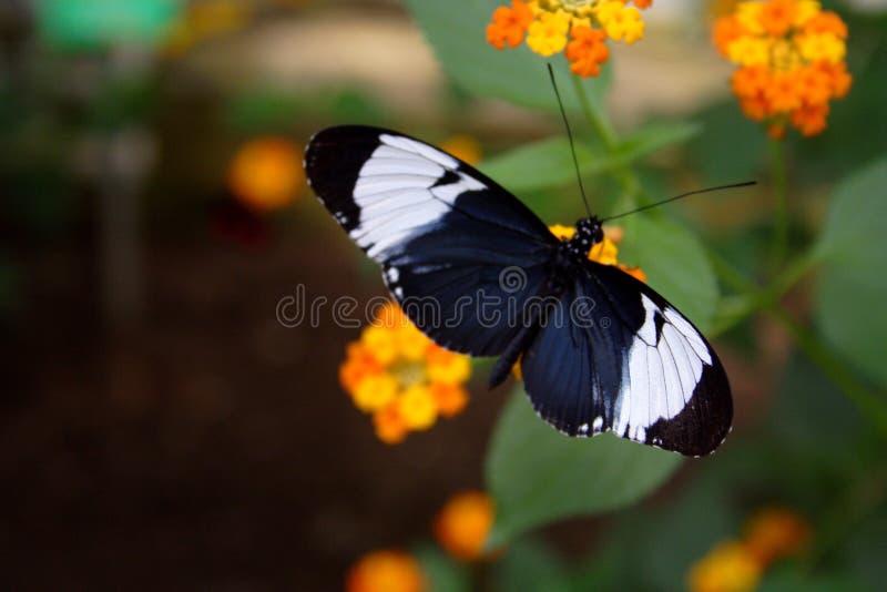 1 fjäril arkivfoton