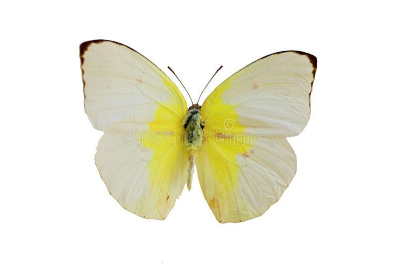 1 fjärilswhite royaltyfri foto
