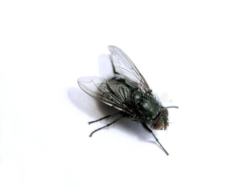 1 fluga royaltyfri bild