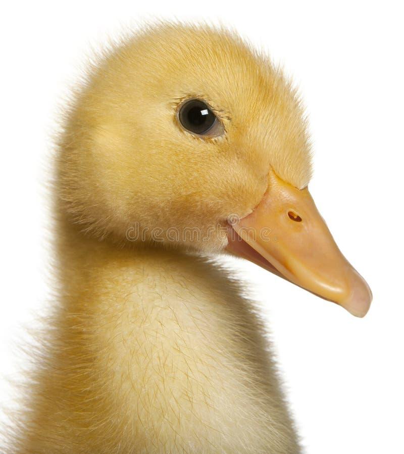 1 gammala övre vecka för tät duckling fotografering för bildbyråer