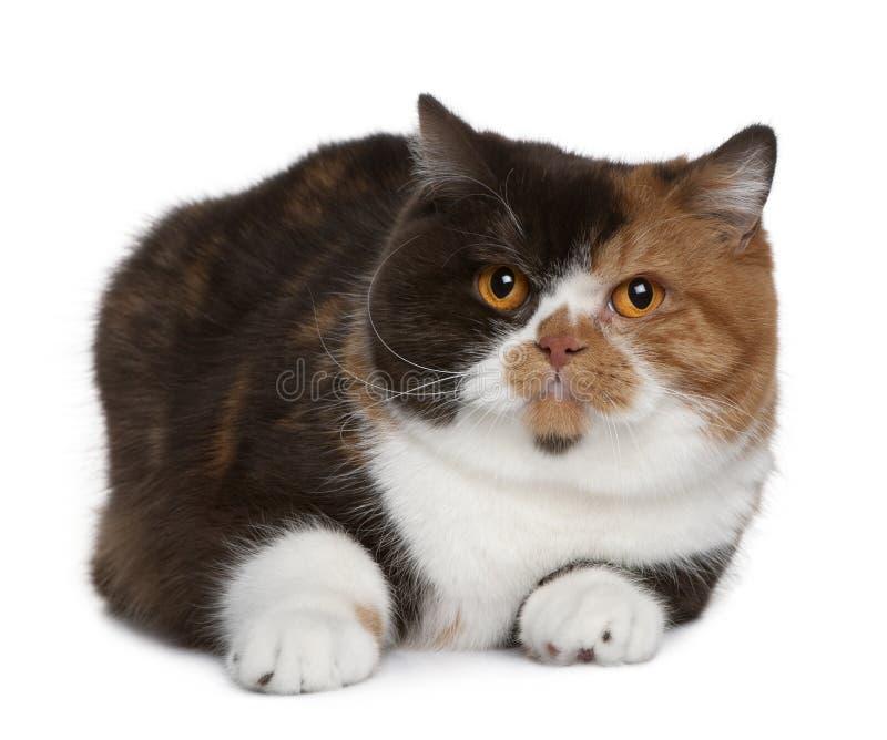 1 gammala shorthairår för brittisk katt arkivbilder