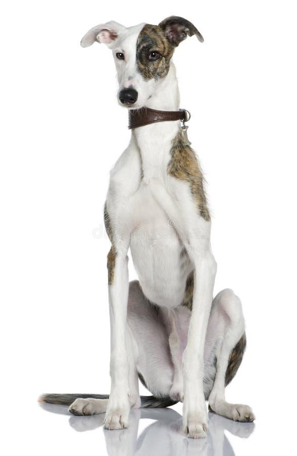 1 gammala sittande år för hundespanolgalgo royaltyfri fotografi
