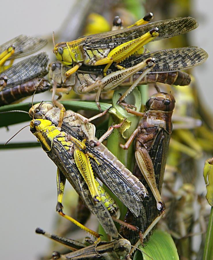 1 gräshoppa royaltyfria bilder