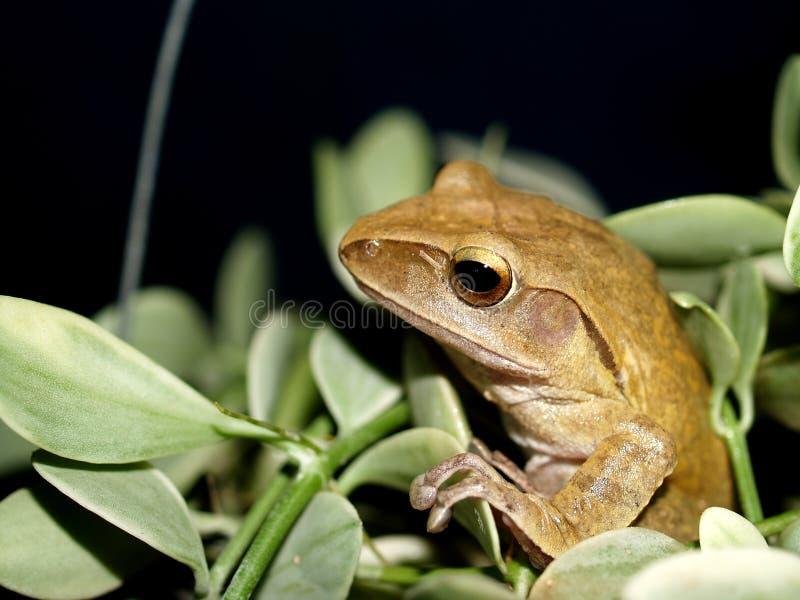 1 grenouille amphibie image stock
