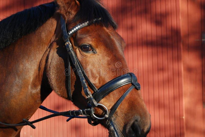 1 head häst arkivbild