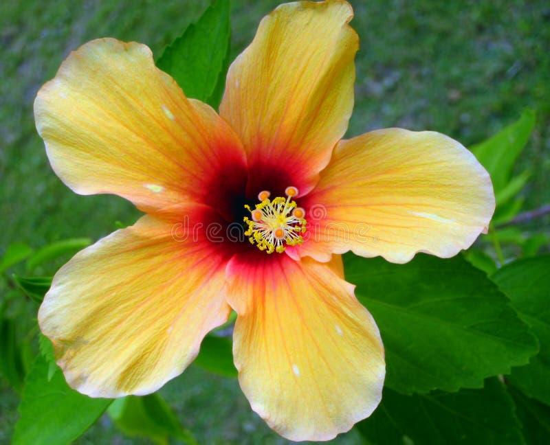 1 hibiskus maldives royaltyfri fotografi