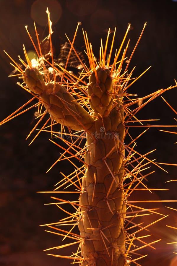 1 kaktus backlight obrazy royalty free
