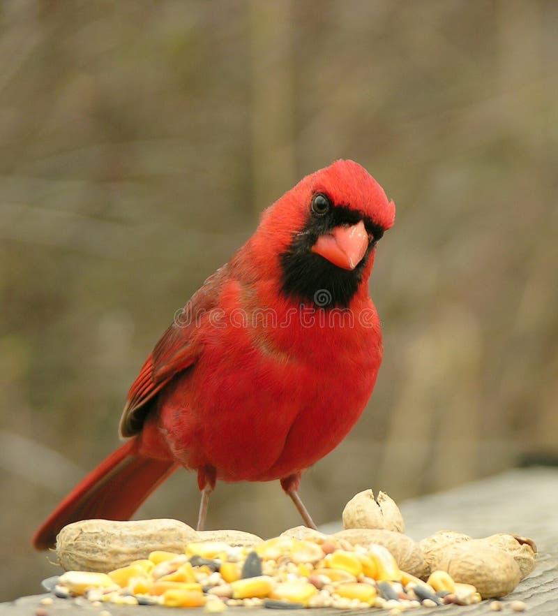 1 kardinal royaltyfri foto