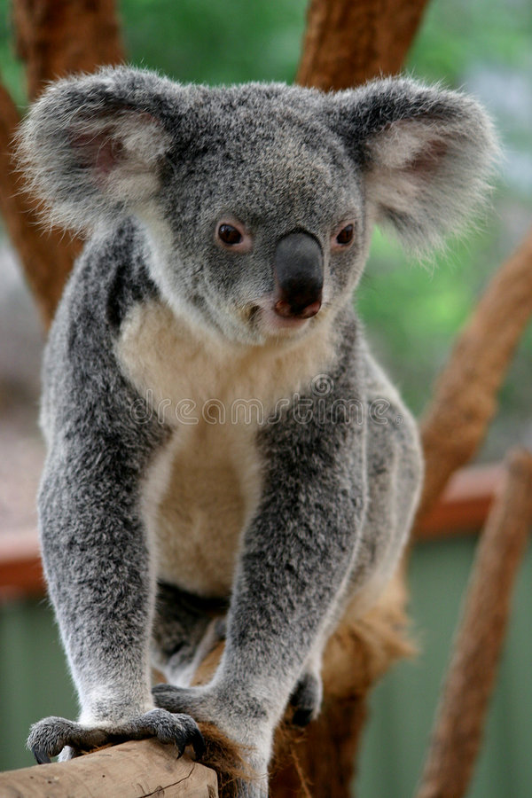 1 koala медведя стоковые фото
