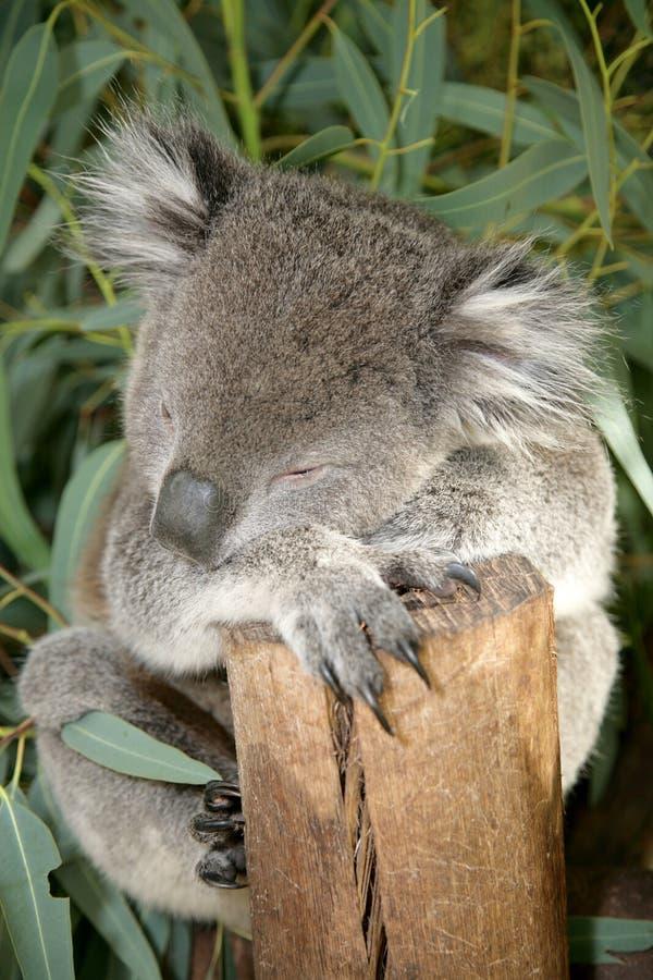 1 koala royaltyfria foton