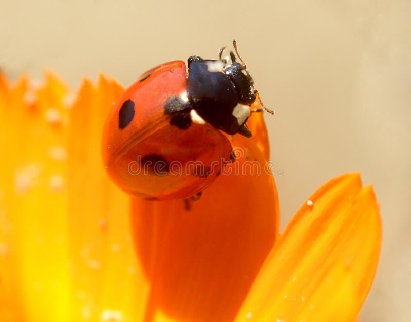 1 ladybird obraz stock