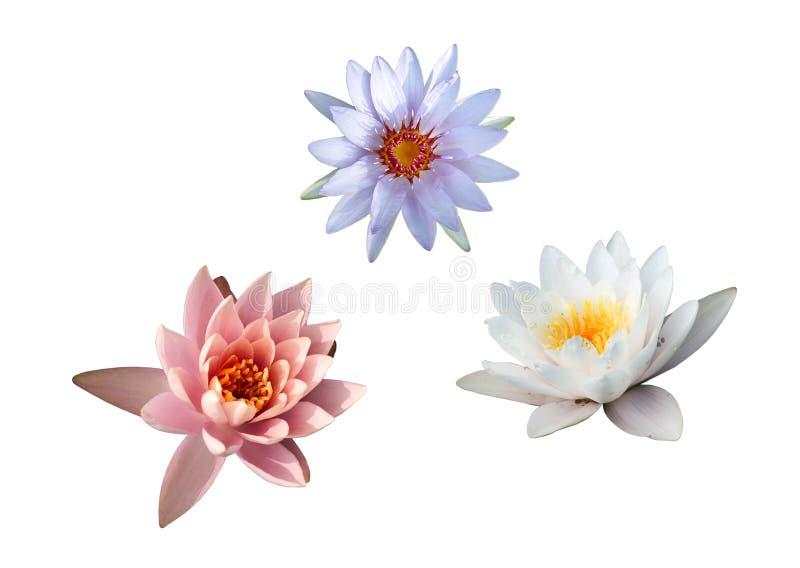 1 lilii 3 zbierania wody obrazy stock