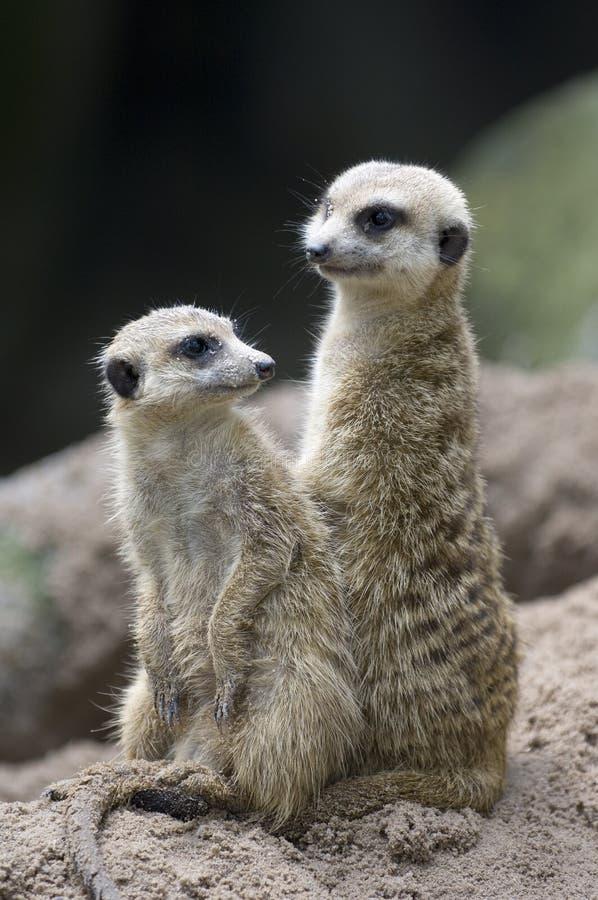 1 Meerkats 免版税图库摄影