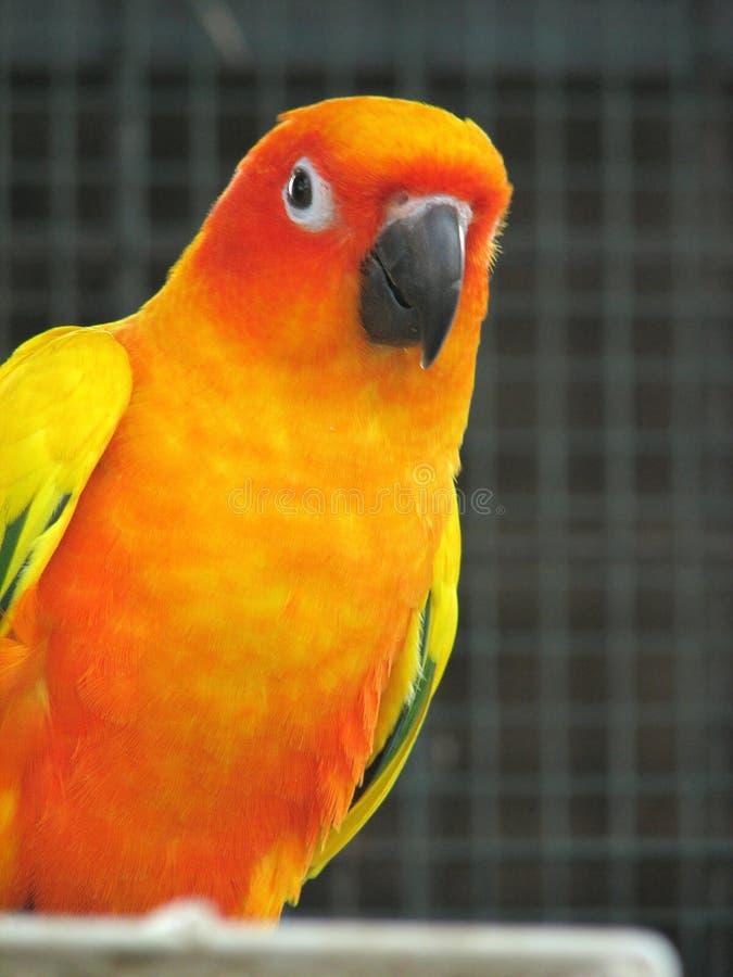 1 orange papegoja royaltyfria bilder
