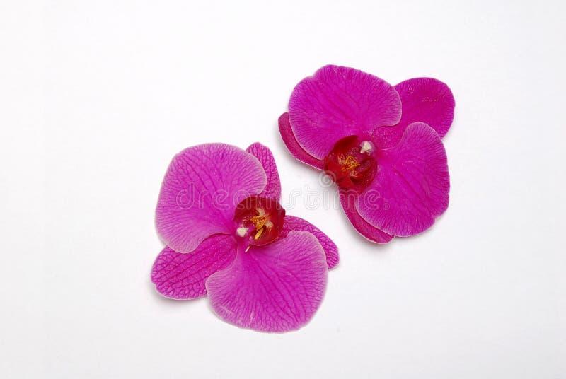 1 orchidpurple fotografering för bildbyråer