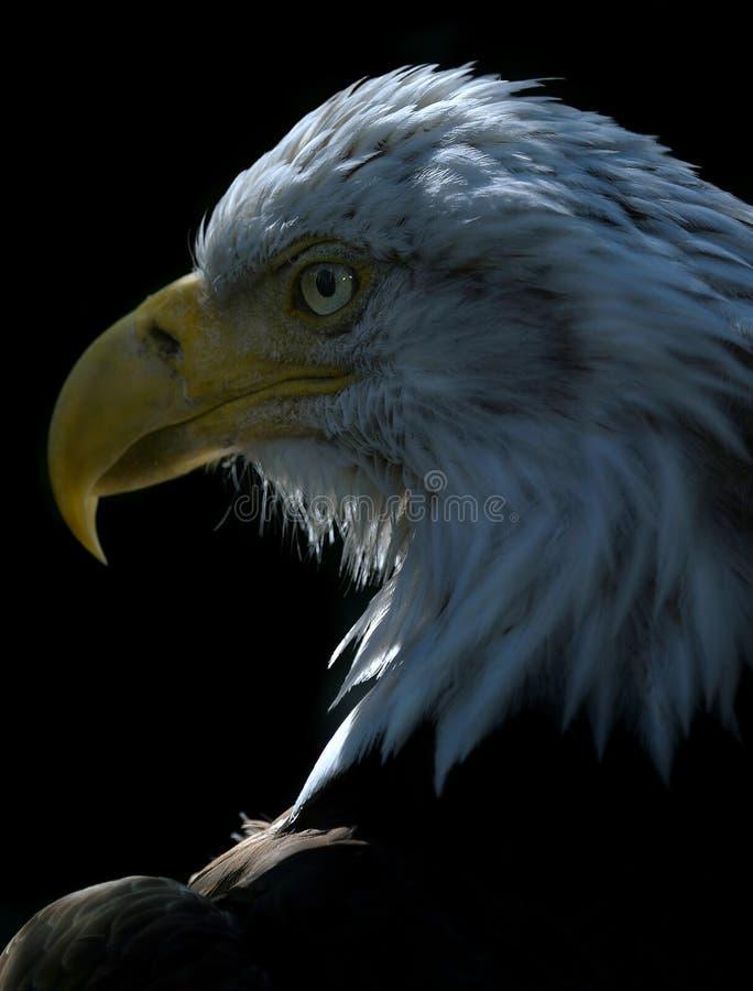 1 orzeł amerykański obraz royalty free