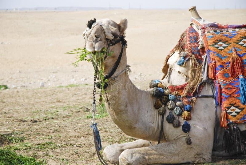 1 posera för kamel arkivfoto