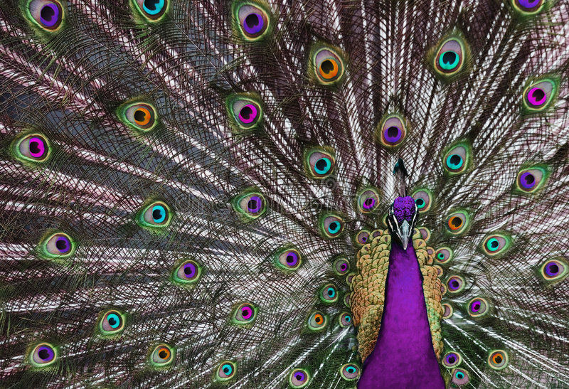 1 psychedelic påfågel royaltyfri fotografi