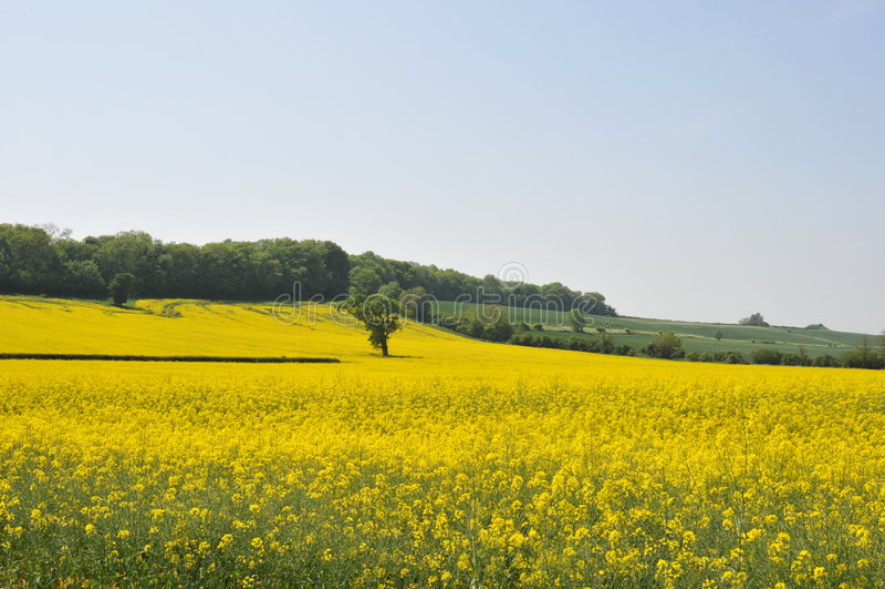 1 rapeseed поля dorset стоковое фото