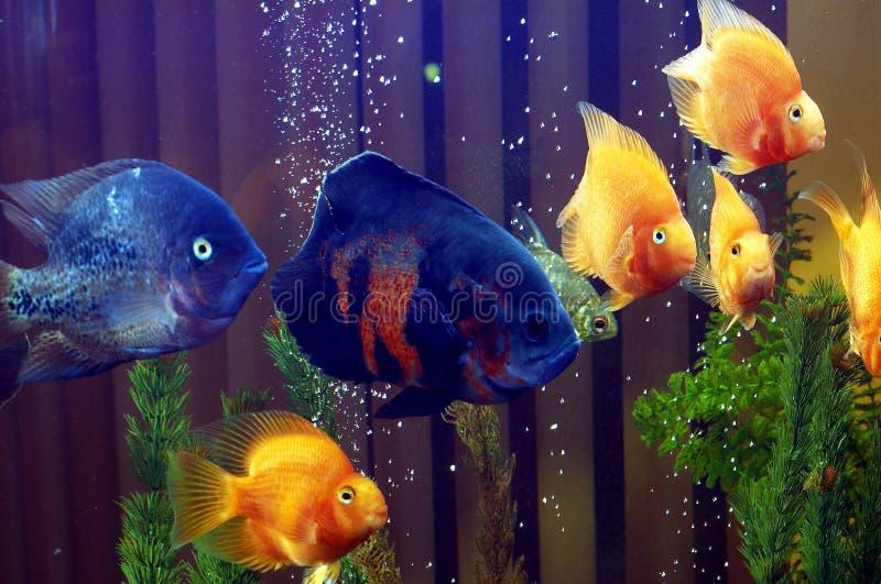 1 ryb obrazy royalty free