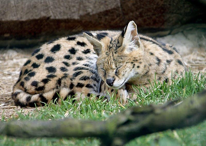 Download 1 serval στοκ εικόνα. εικόνα από άλμα, σπάνιος, πορτρέτο - 2226367