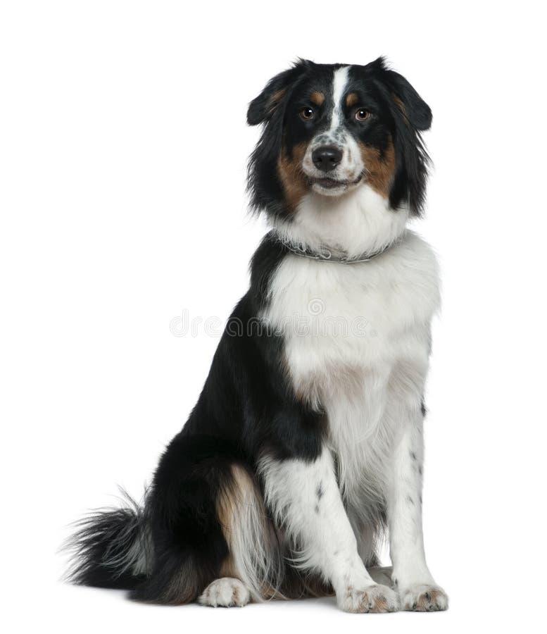1 sittande år för australiensisk herde för hund gammal arkivfoto