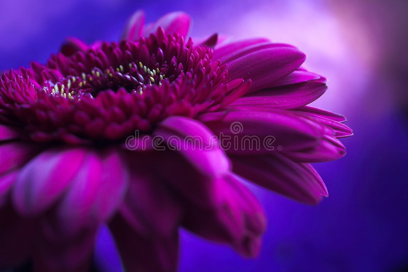 1 składu fioletowy kwiat zdjęcia royalty free