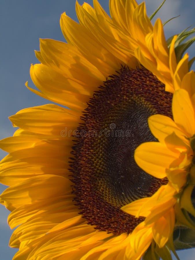 1 solros royaltyfri bild