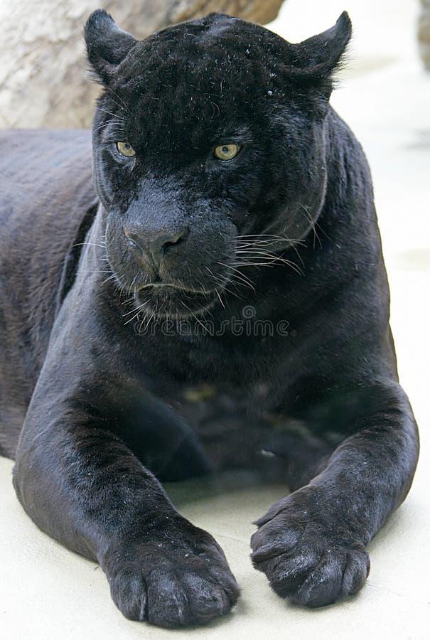 1 svarta panter royaltyfri bild