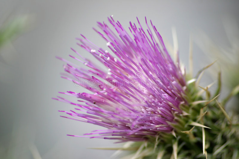 1 thistle пурпура цветка стоковое фото rf