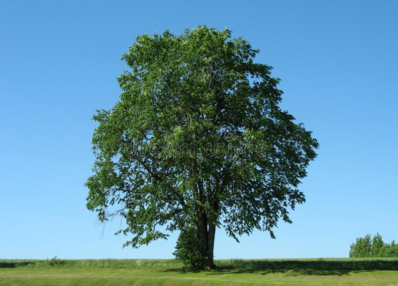 1 tree royaltyfri bild