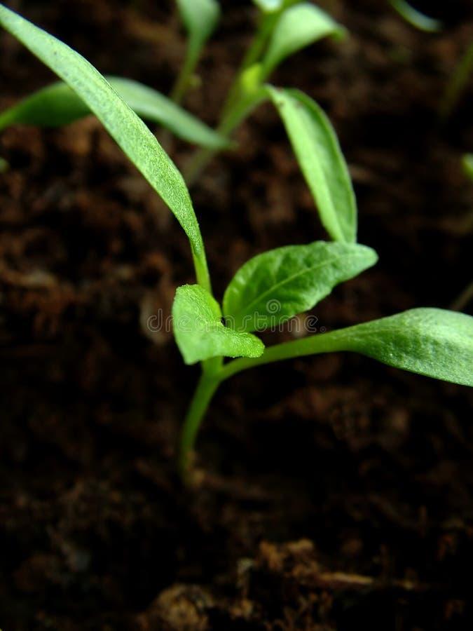 1 Växande Paprika Fotografering för Bildbyråer