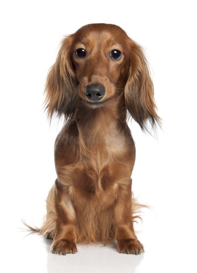1 vieil an de dachshund photographie stock