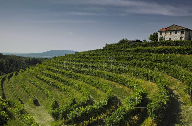 1 vingård arkivfoto