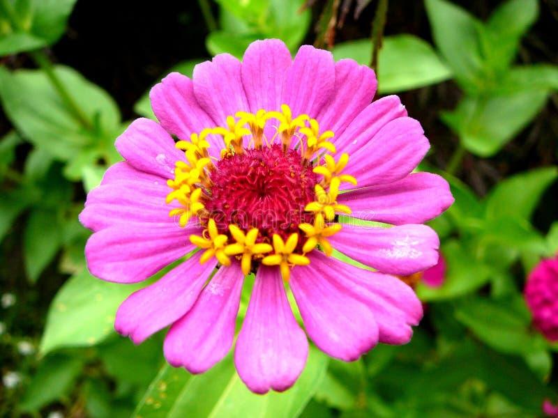 Download 1 zinnia fotografering för bildbyråer. Bild av pink, färg - 977821