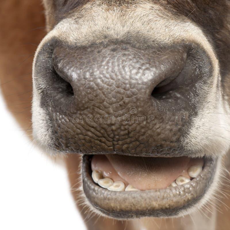 10接近的几年的母牛泽西老口鼻部 免版税库存图片