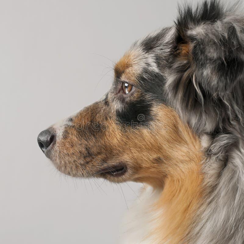 10 месяцев собаки австралийца близких shepherd вверх стоковое фото rf