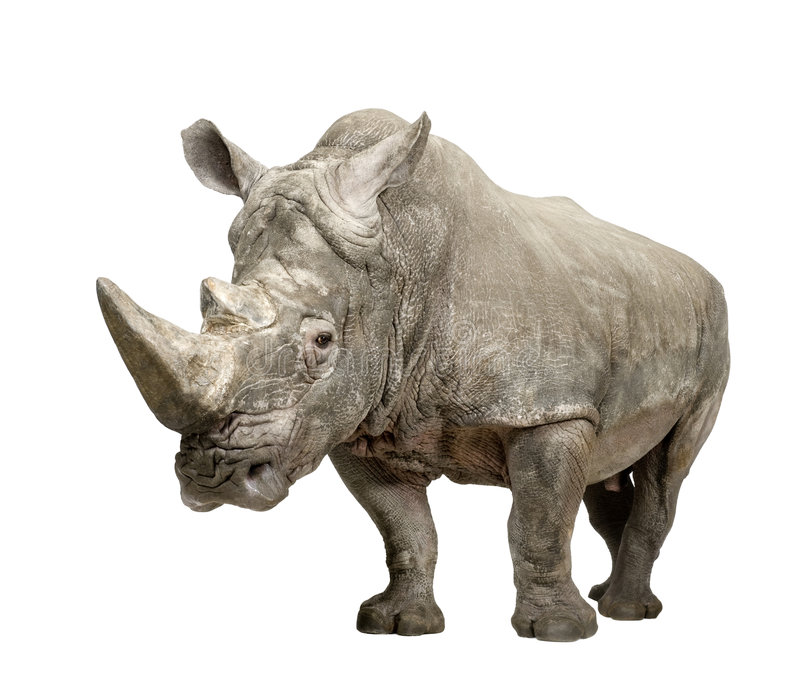 10 ceratotherium nosorożec simum biel rok obraz stock