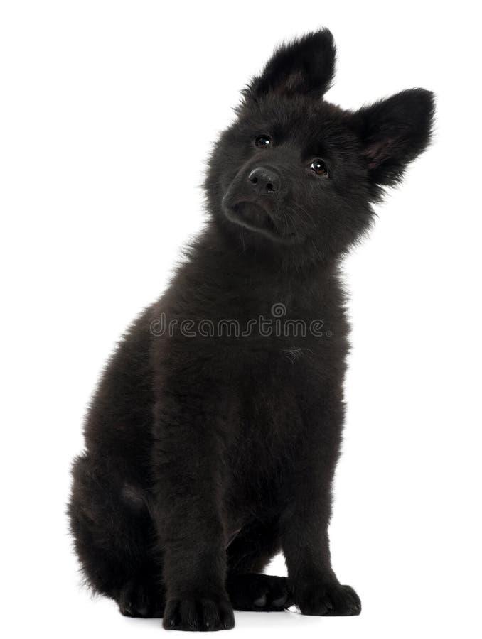 10 för tysk gammal sittande veckor valpherde för hund fotografering för bildbyråer