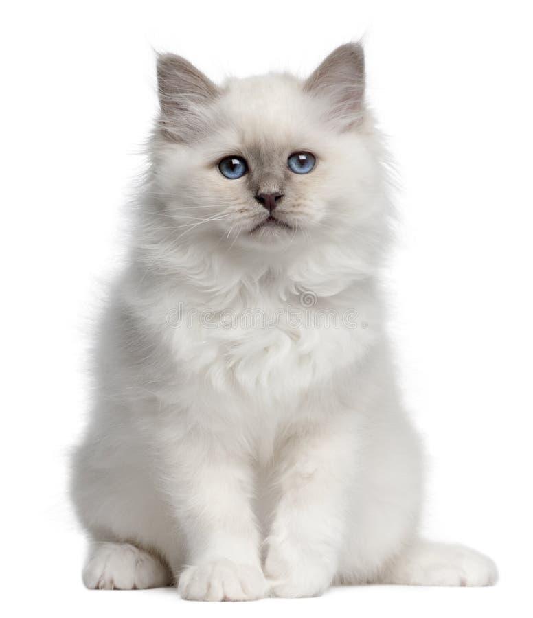 10 gammala sittande veckor för birman kattunge arkivfoton