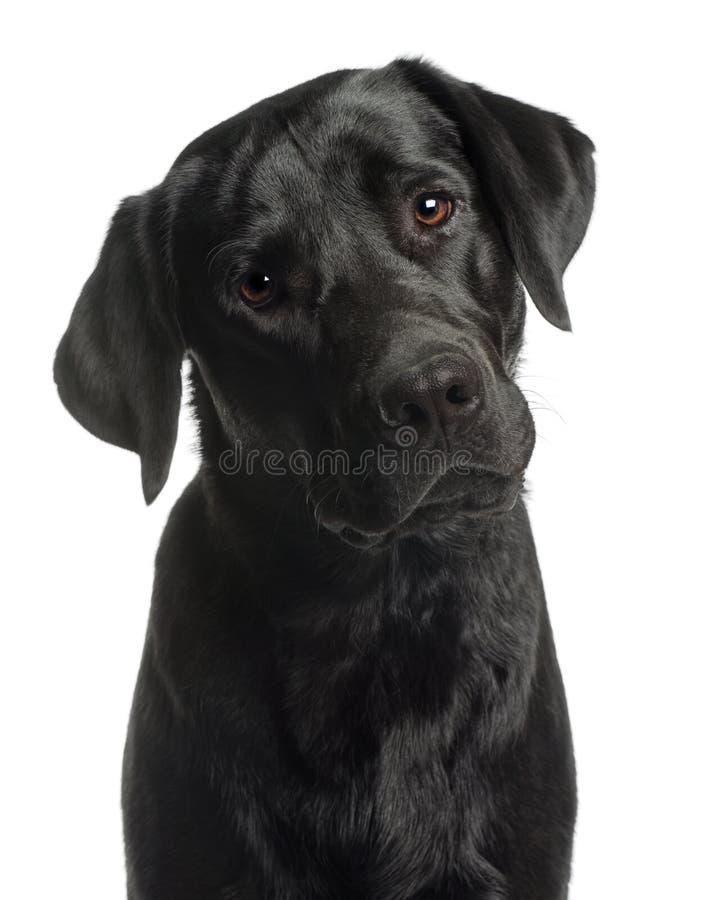 10 zamkniętych labradora miesiąc stary aporter stary zdjęcie royalty free