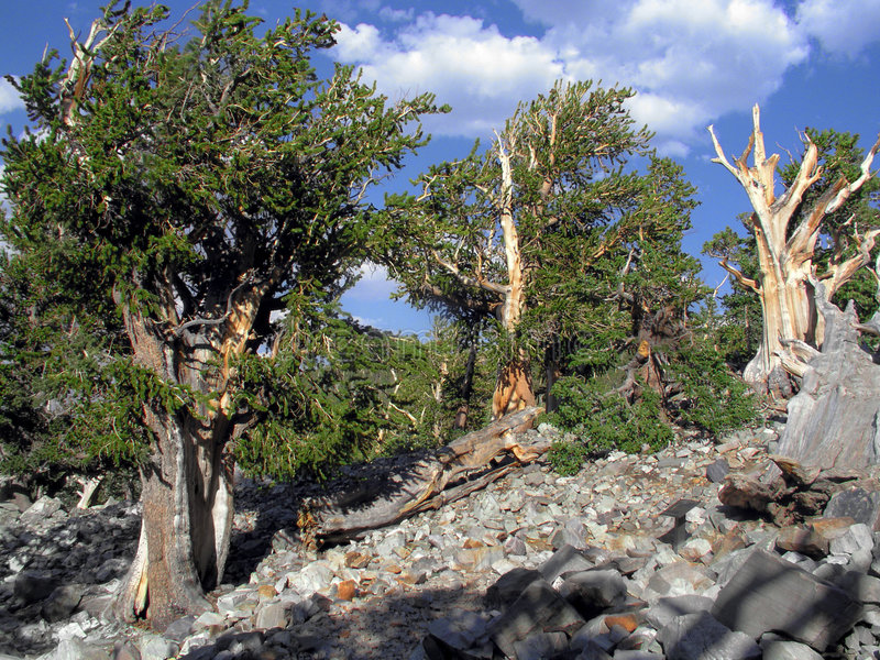 1000 or more year old bristle cone pine. At least 1000 year old bristle cone pine tree at 11,000 feet in great basin national park royalty free stock photography