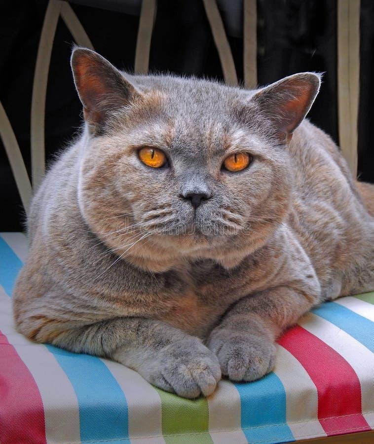 Free 10th Anniversary For Birth Of Pedigree British Shorthair Cat Stock Image - 181957941