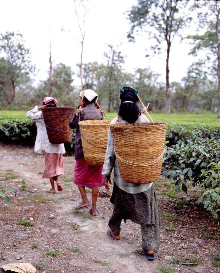 11个种植园茶 免版税库存图片