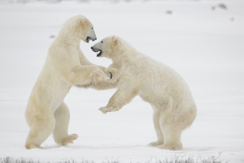 11头熊与极性战斗 库存照片