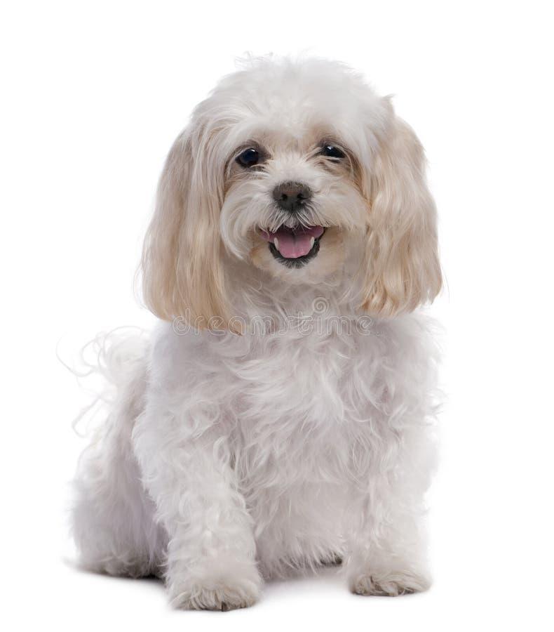 11 лет собаки мальтийсный старый сидя стоковые фотографии rf