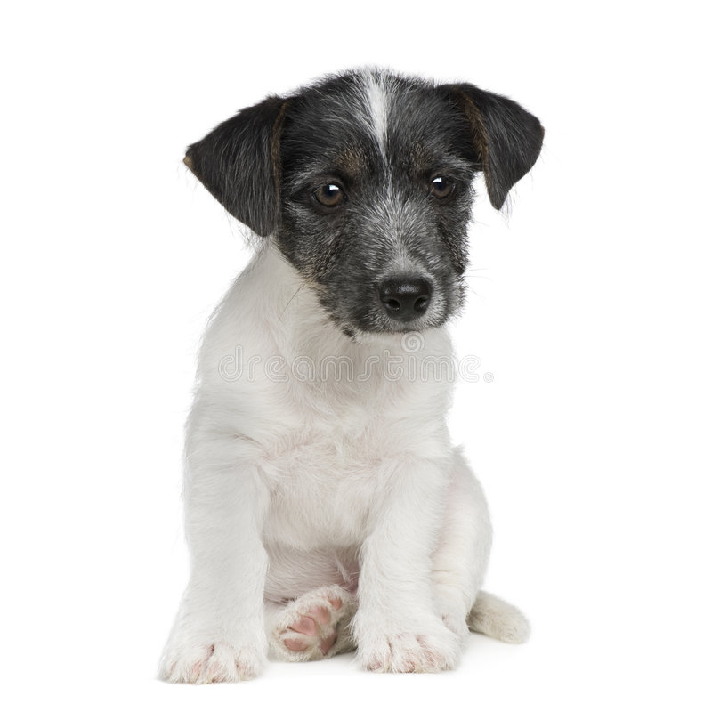 Download 11 неделя Russell щенка Jack Стоковое Фото - изображение насчитывающей любимчики, doggy: 6853060